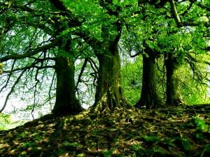 Product 1 Avebury Trees
